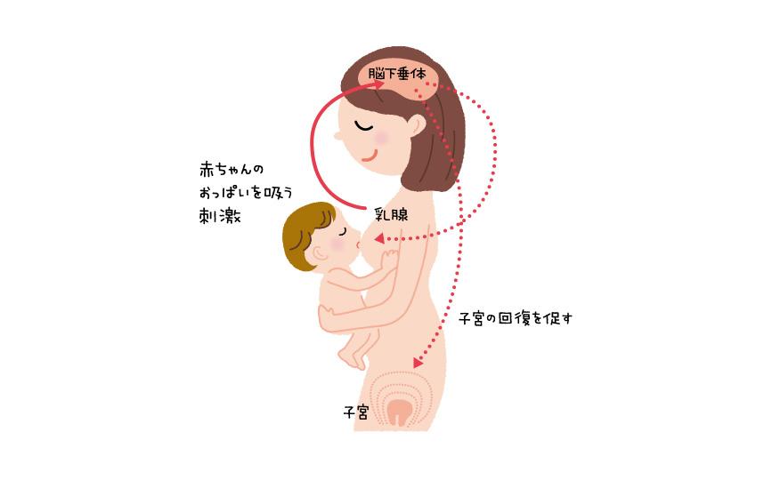 母乳がでるしくみ
